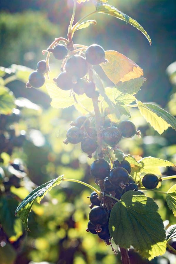 Os ramos do corinto preto no sol no verão jardinam foto de stock