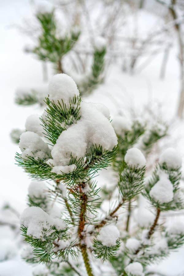 Os ramos do pinho de montanha são cobertos com a neve branca macia Ano novo e conceito do Natal fotos de stock