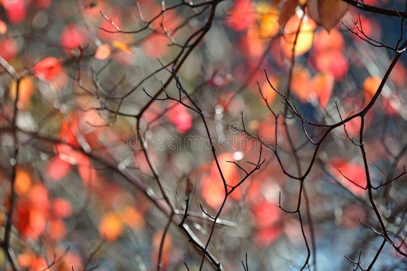 Os ramos Leafless do arbusto contra outono defocused coloriram as folhas imagens de stock royalty free