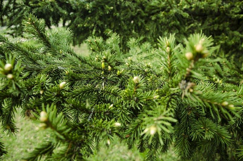Os ramos novos comeram os botões do abeto vermelho e agulhas novas do abeto vermelho contra fotos de stock royalty free