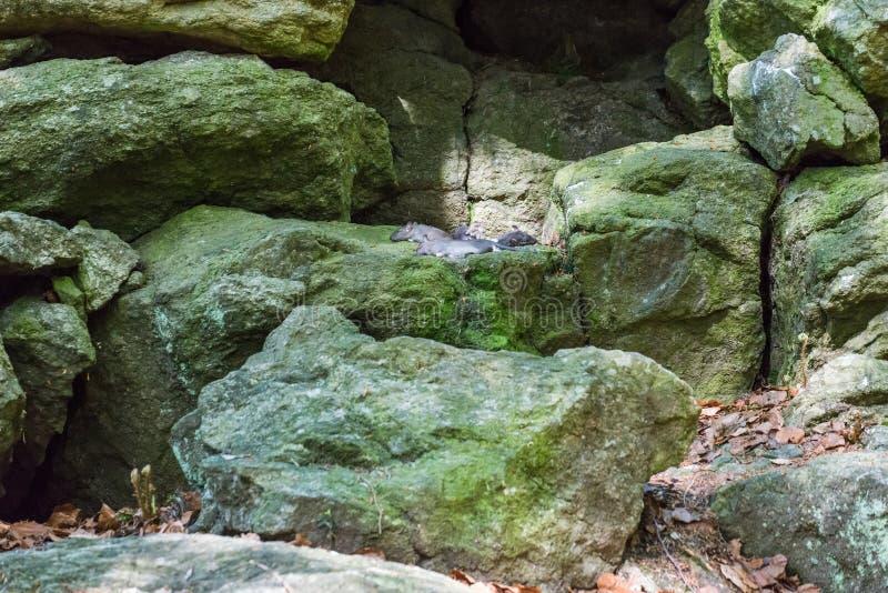 Os ratos inoperantes como o alimento para predadores encontram-se em grandes pedras imagem de stock