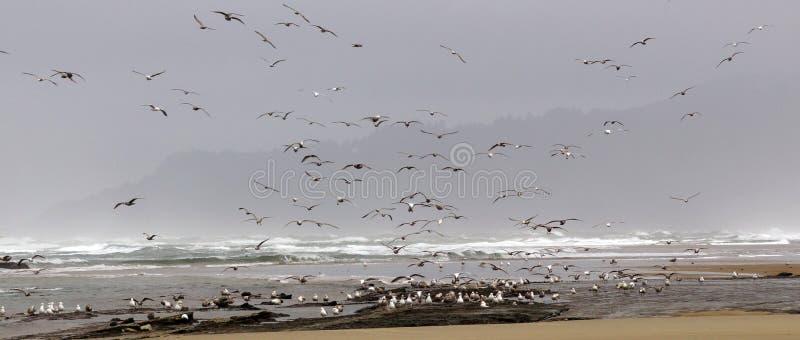 Os rebanhos das gaivotas que voam ao longo da areia litoral encalham foto de stock