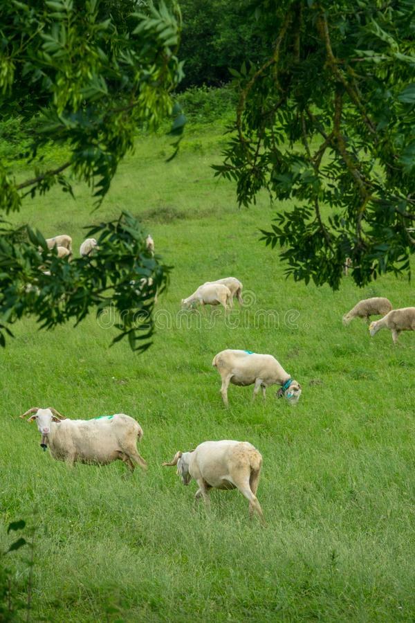 Os rebanhos dos carneiros em uma montanha pastam em França do sul fotografia de stock royalty free