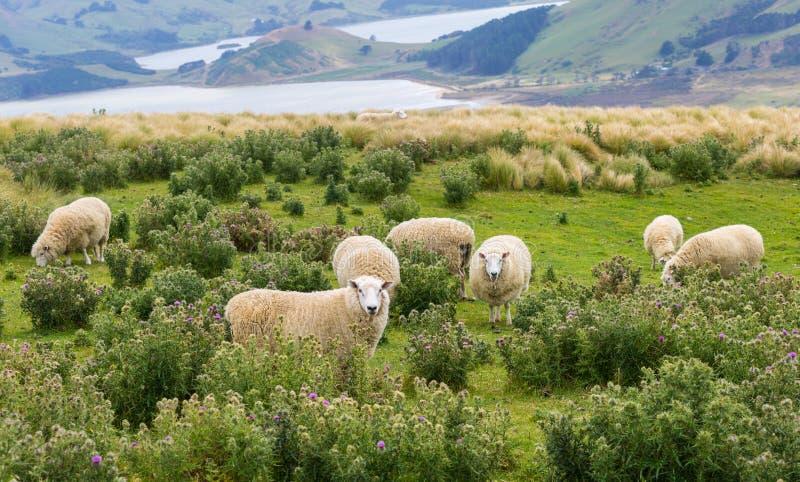 Os rebanhos dos carneiros pastam nos campos com vistas para o mar espetaculares imagem de stock