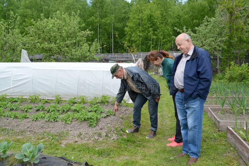 Os residentes do verão olham uma cama com as batatas crescentes imagens de stock