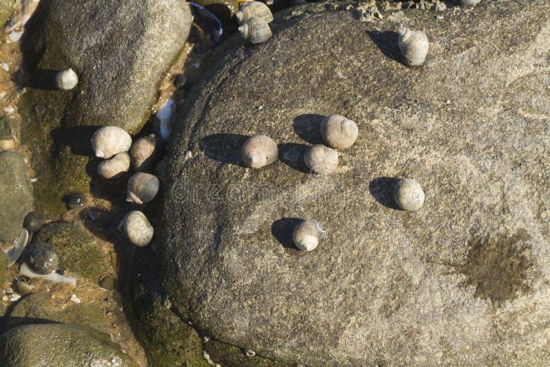 Os saxatilis do Littorina, pervinca áspera, descascam aderir-se à rocha fotografia de stock