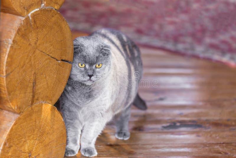 Os Scottish azuis sérios e pensativos dobram o gato que está perto da parede do log em um patamar de uma casa e que olha em algum imagem de stock