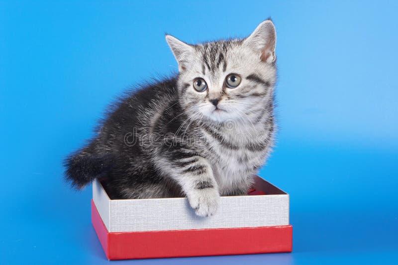 Os Scottish bonitos da vaquinha dobram o gato que senta-se em uma caixa em um azul fotografia de stock royalty free