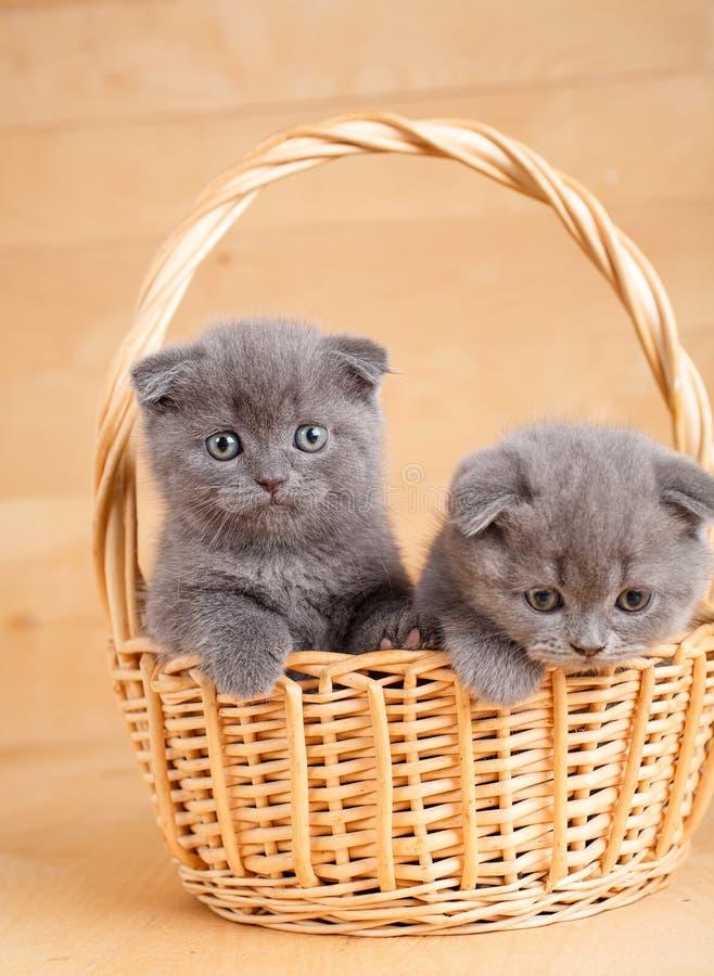 Os scottish cinzentos dobram os gatinhos que jogam na cesta fotografia de stock