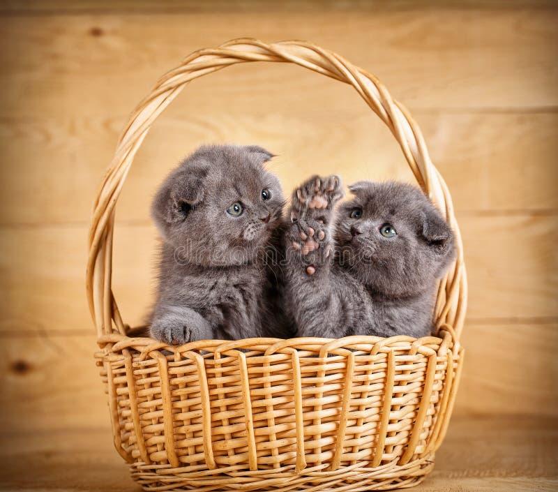 Os scottish cinzentos dobram os gatinhos que jogam na cesta imagem de stock
