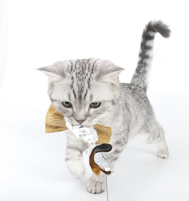 Os Scottish de prata do gato malhado dobram o gatinho que joga com um brinquedo foto de stock royalty free