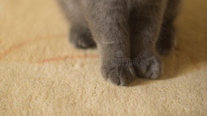 Os Scottish dobram as patas bonitos do gatinho no tapete imagem de stock royalty free