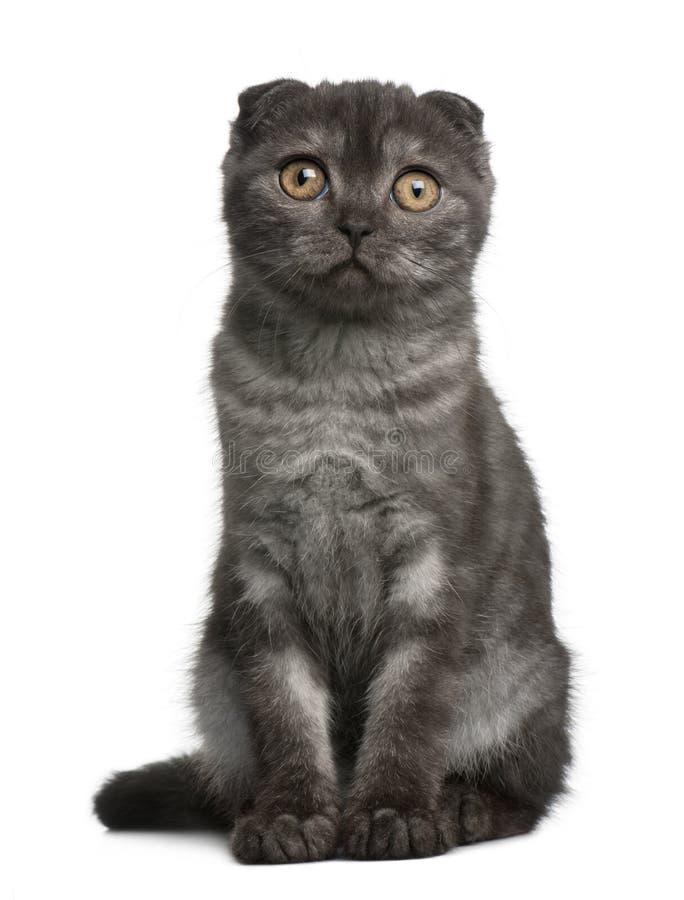 Os Scottish dobram o gatinho, 3 meses velho, sentando-se fotografia de stock royalty free