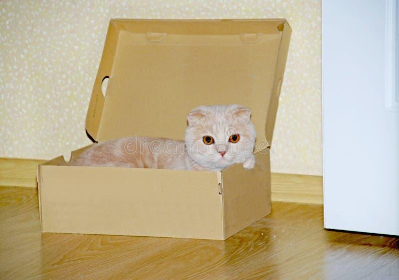 Os Scottish dobram o gato, 11 meses velho, na parte dianteira imagens de stock