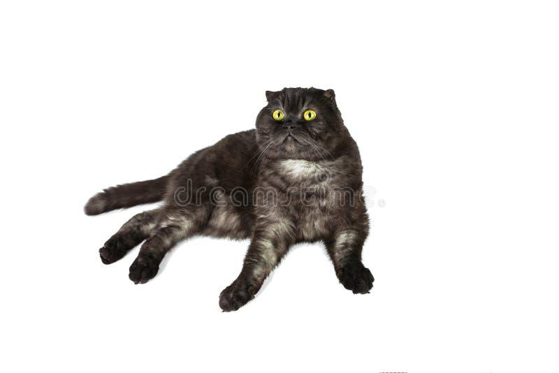 Os Scottish dobram o gato, com olhos amarelos, nas várias poses, isoladas no fundo branco fotos de stock royalty free