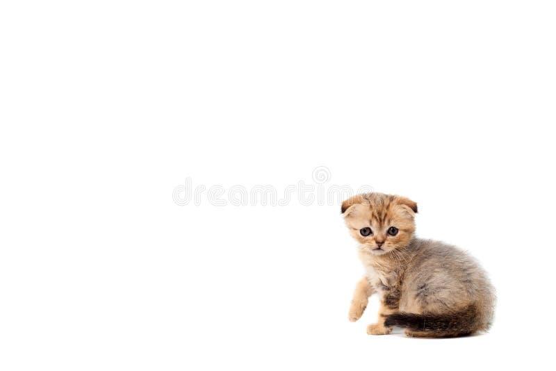 Os scottish macios muito pequenos tristes do gatinho dobram-se no fundo isolado branco Com um olho dorido que esteja descascando  fotografia de stock