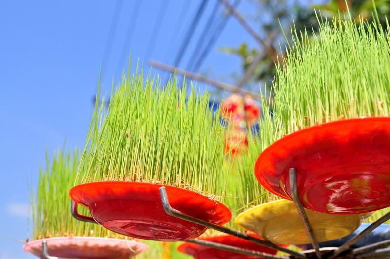 Os seedings afortunados do arroz são para a venda na rua no ano novo lunar vietnamiano tradicional fotografia de stock royalty free