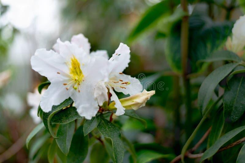 Os sempervirens brancos de Rosa sempre-verdes aumentaram flor foto de stock