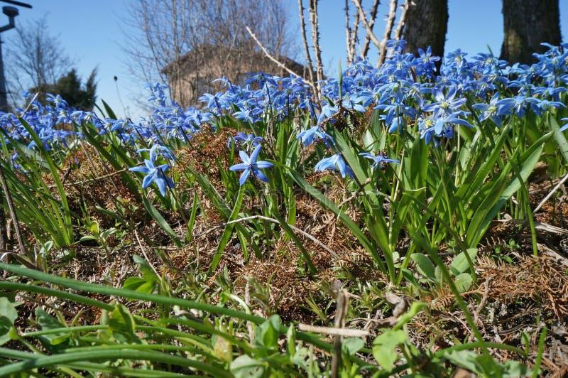Os snowdrops azuis da primeira mola florescem em uma vila solar gard fotografia de stock royalty free