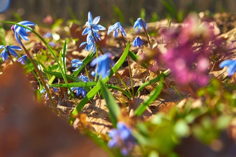 Os snowdrops azuis floresceram na primavera na floresta imagens de stock