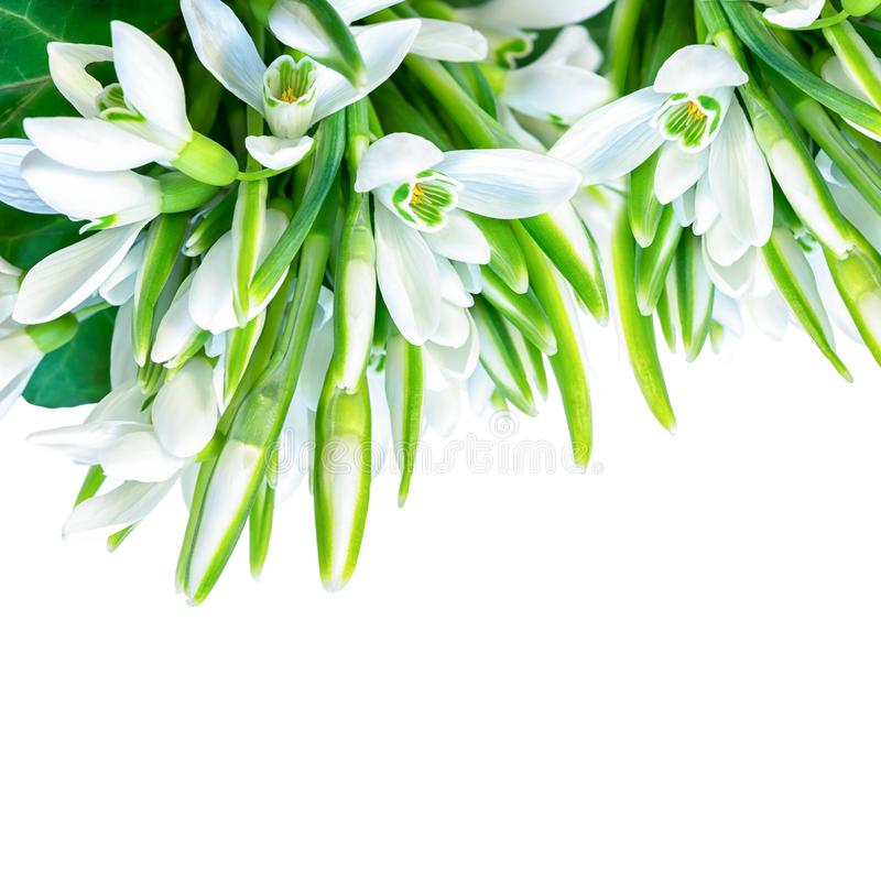 Os snowdrops bonitos florescem a flor isolada no fundo do quadrado branco Natureza da mola Molde do cartão Delicado tonificado fotos de stock