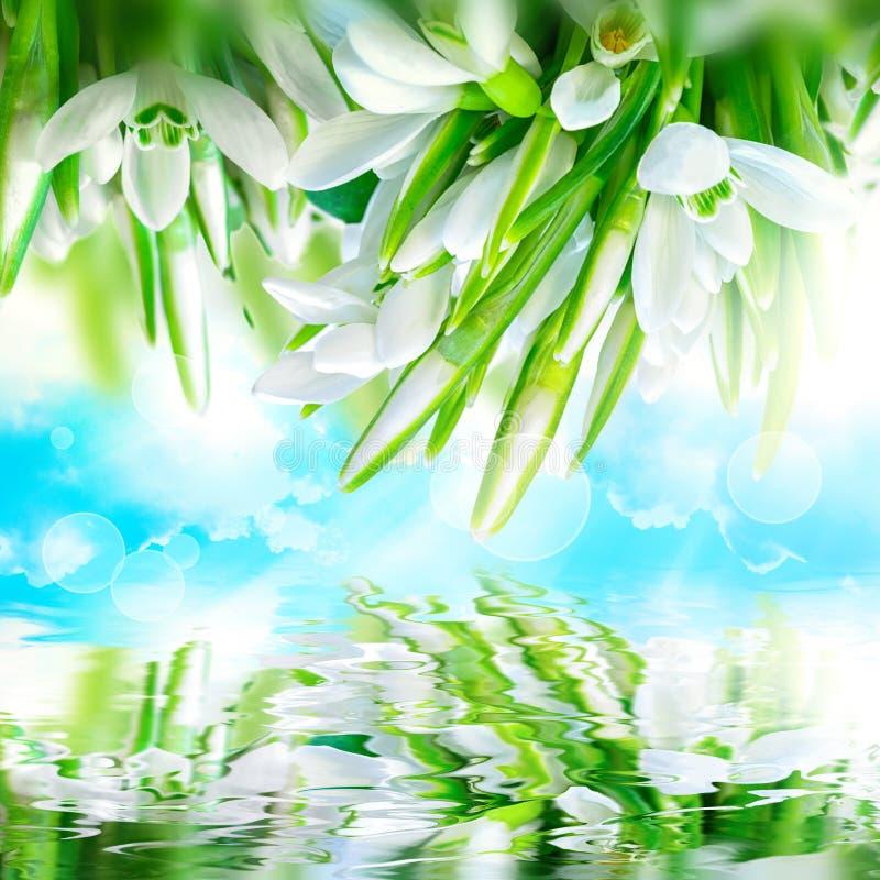 Os snowdrops bonitos florescem a flor, reflexão da água, céu, nuvens, luz Molde quadrado do cartão do cumprimento Delicado tonifi imagem de stock royalty free