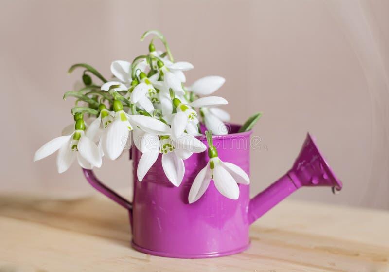 Os snowdrops bonitos florescem no vaso decorativo pequeno da lata molhando imagens de stock royalty free