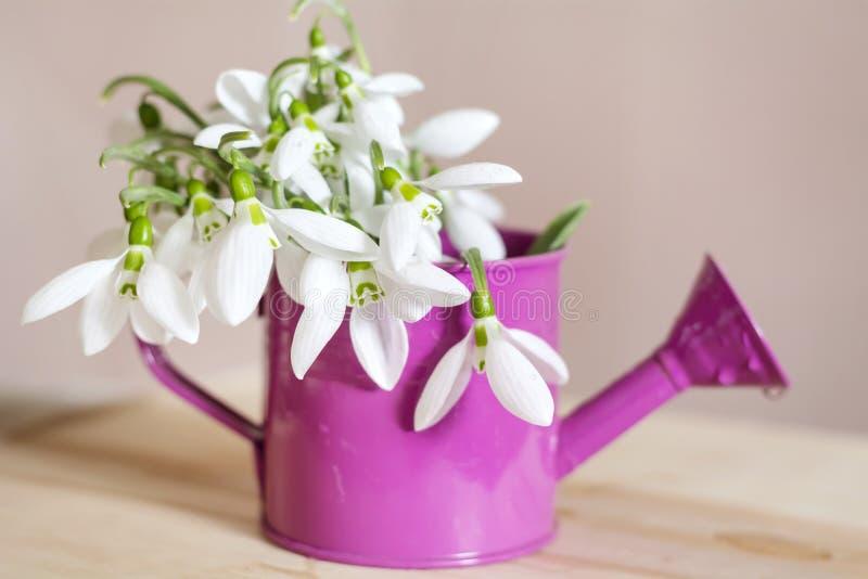Os snowdrops bonitos florescem no vaso decorativo pequeno da lata molhando foto de stock royalty free