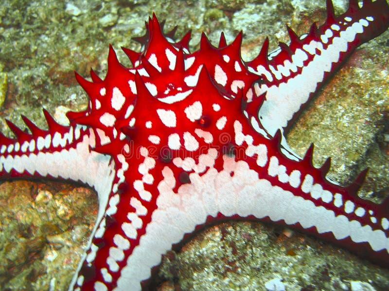 Os starfish coloridos fecham-se acima imagem de stock
