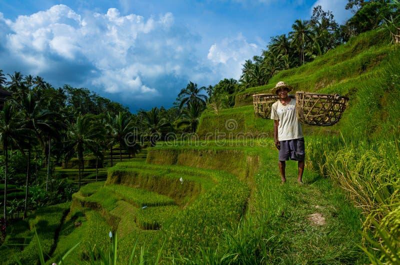 Os suportes do fazendeiro do arroz em um arroz terraced colocam guardar cestas tecidas imagem de stock royalty free