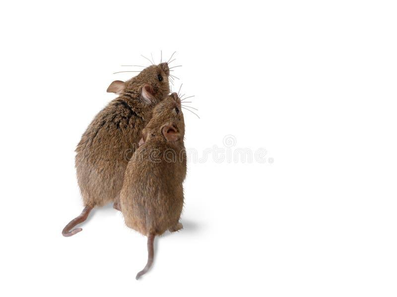 Os suportes do rato da ratazana do close up dois e olham acima vista no verso imagens de stock
