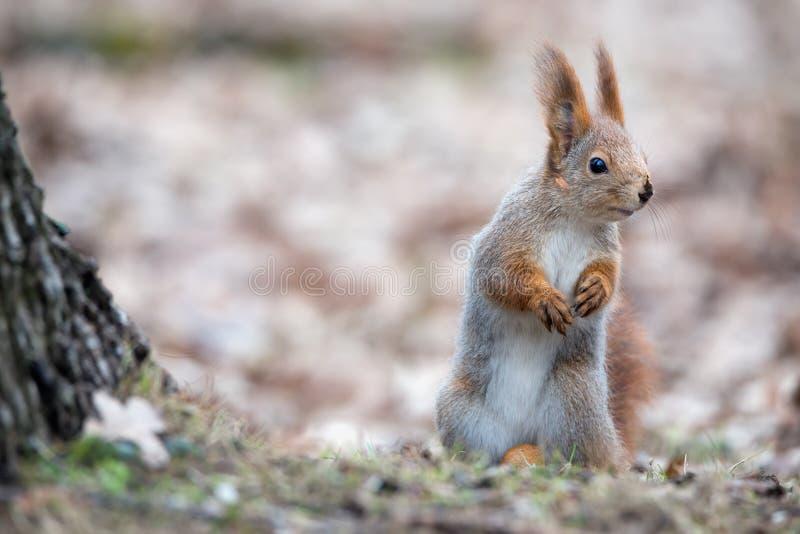 Os suportes vulgares do Sciurus euro-asiático bonito do esquilo vermelho em Autumn Foliage Near uma árvore e olhares endireitam O foto de stock royalty free