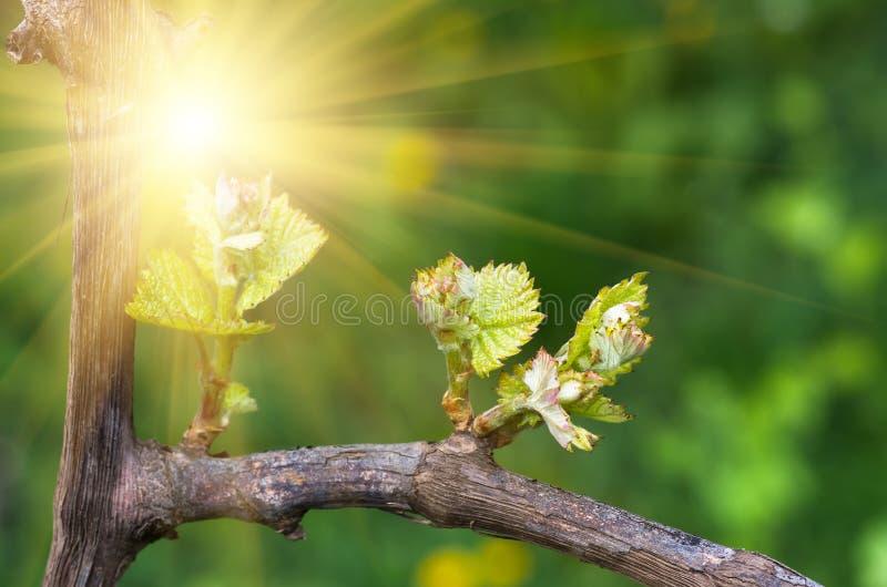 Os tiros e as folhas das uvas na videira saltam imagem de stock