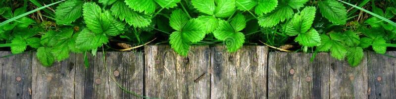 Os tiros e as folhas novos de arbustos de morango brilhantes sem bagas crescem perto da passagem de madeira foto de stock royalty free