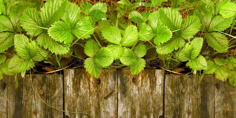 Os tiros e as folhas novos de arbustos de morango brilhantes sem bagas crescem perto da passagem de madeira foto de stock