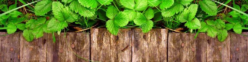 Os tiros e as folhas novos de arbustos de morango brilhantes sem bagas crescem perto da passagem de madeira fotos de stock