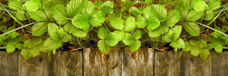 Os tiros e as folhas novos de arbustos de morango brilhantes sem bagas crescem perto da passagem de madeira fotografia de stock royalty free