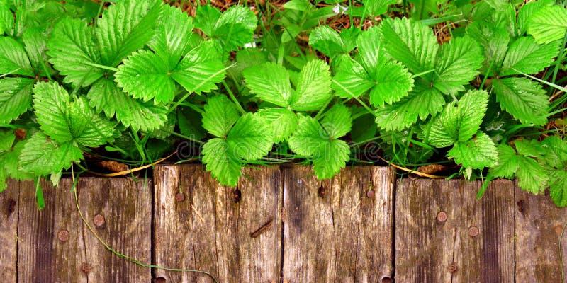 Os tiros e as folhas novos de arbustos de morango brilhantes sem bagas crescem perto da passagem de madeira imagem de stock royalty free