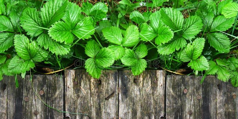 Os tiros e as folhas novos de arbustos de morango brilhantes sem bagas crescem perto da passagem de madeira imagens de stock