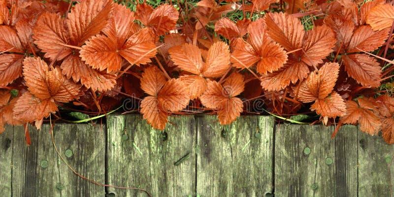 Os tiros e as folhas novos de arbustos de morango brilhantes sem bagas crescem perto da passagem de madeira imagem de stock