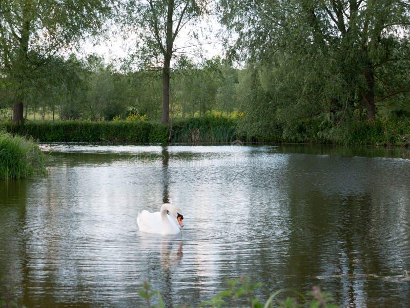 Os tiros lindos de uma única cisne em um fim do lago refletiram acima o res fotografia de stock royalty free