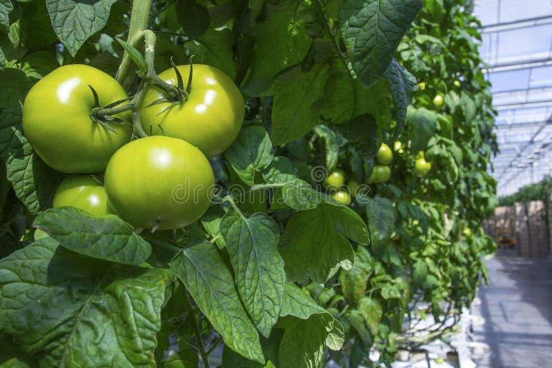 Os tomates pesam em uma estufa fotos de stock