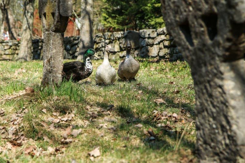 Os três domesticaram patos selvagens fotografia de stock royalty free