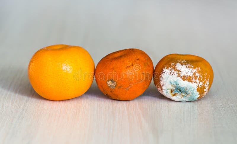 Os três mandarino na fase de secagem Uma laranja fresca, uma laranja que comece a se deteriorar, e podre estragado com molde imagens de stock