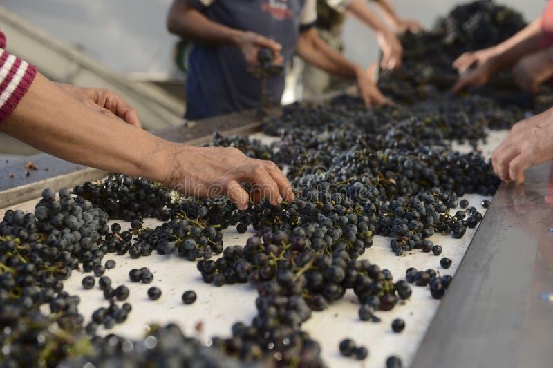 Os trabalhadores escolhem uvas de um vinho especial imagens de stock royalty free