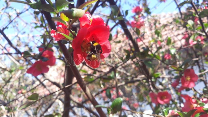 Os trabalhos dignos da abelha fotografia de stock royalty free