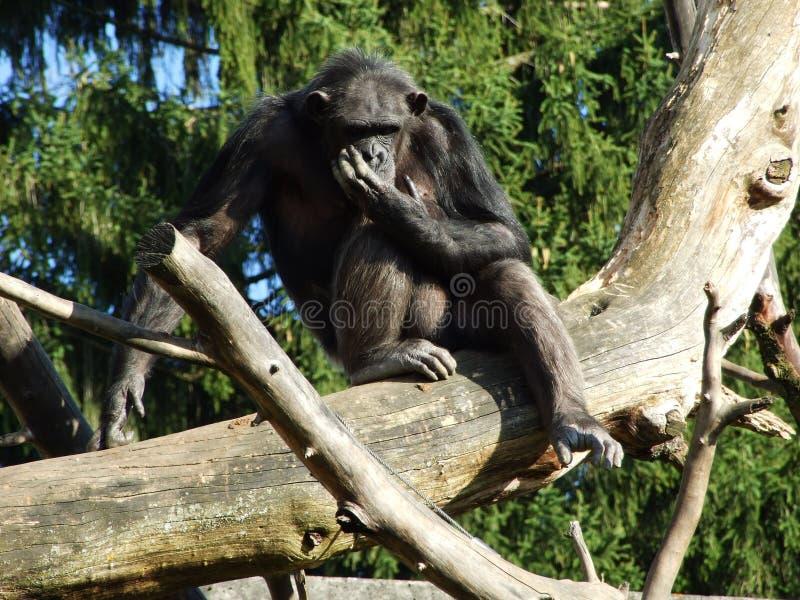 Os trogloditas da bandeja do chimpanz?, tamb?m o chimpanz? comum, chimpanz? robusto, chimpanz? ou Der Schimpanse, Abenteurland Wa imagens de stock