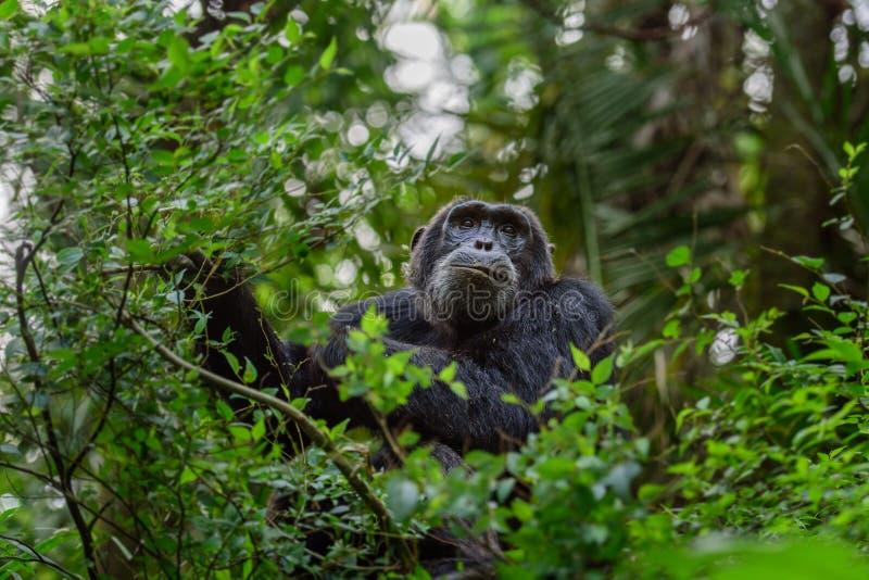 Os trogloditas da bandeja são um chimpanzé africano do macaco imagens de stock