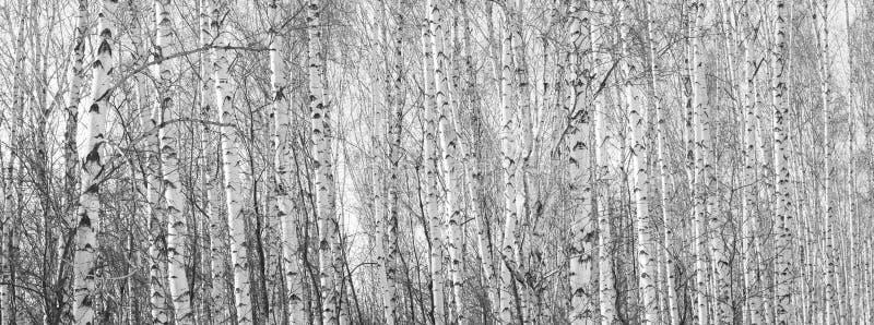 Os troncos de árvores de vidoeiro imagem de stock