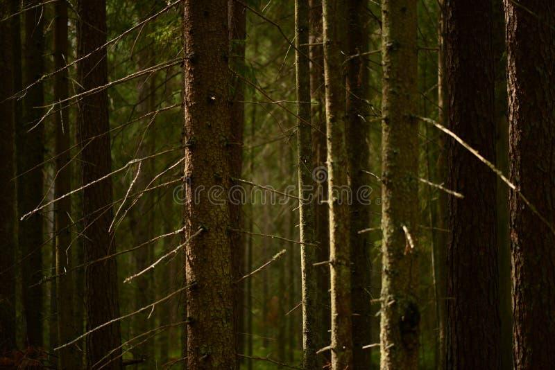 Os troncos de árvores desencapadas do abeto em ramos secos com a casca escura na floresta conífera densa estão sempre na máscara  imagens de stock royalty free